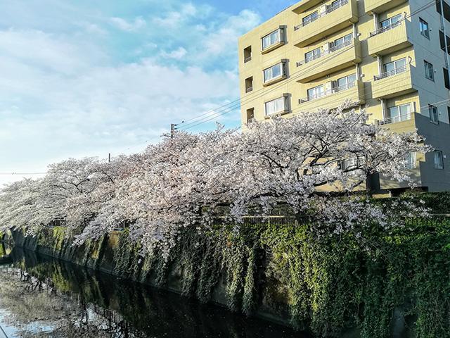 呑川の桜並木の写真